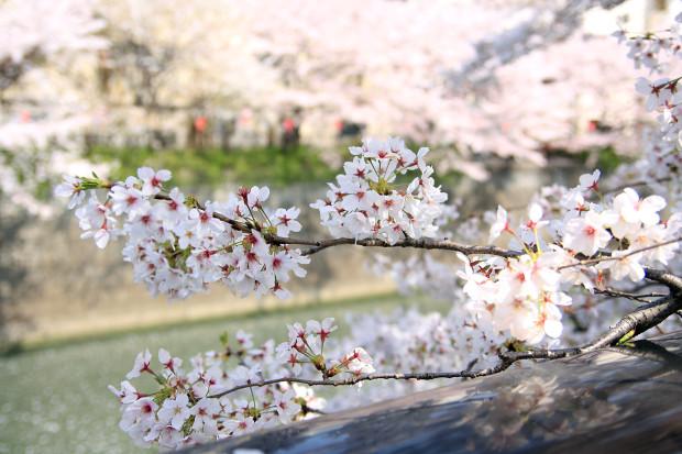 桜(さくら、目黒川花見)188