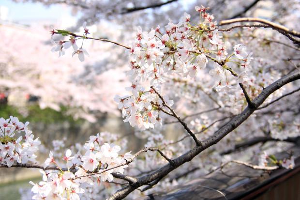 桜(さくら、目黒川花見)189