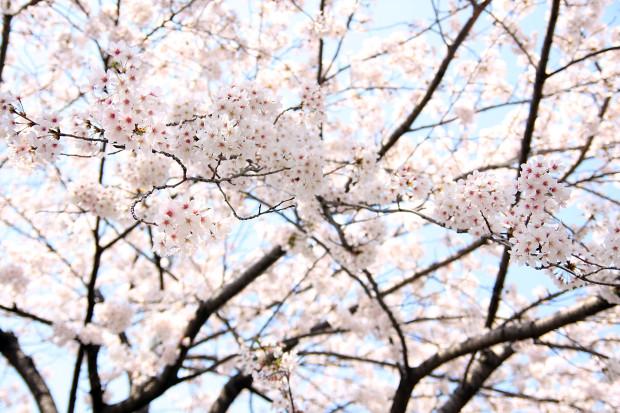 桜(さくら、目黒川花見)190