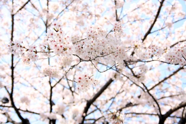 桜(さくら、目黒川花見)191