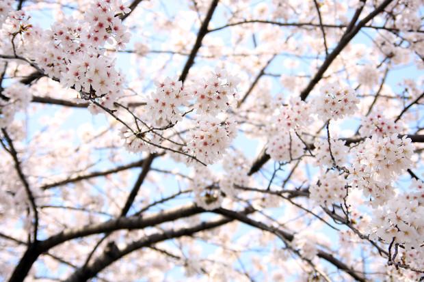 桜(さくら、目黒川花見)192