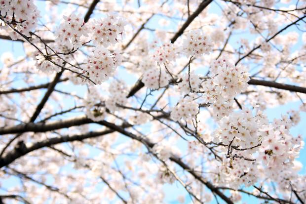 桜(さくら、目黒川花見)193