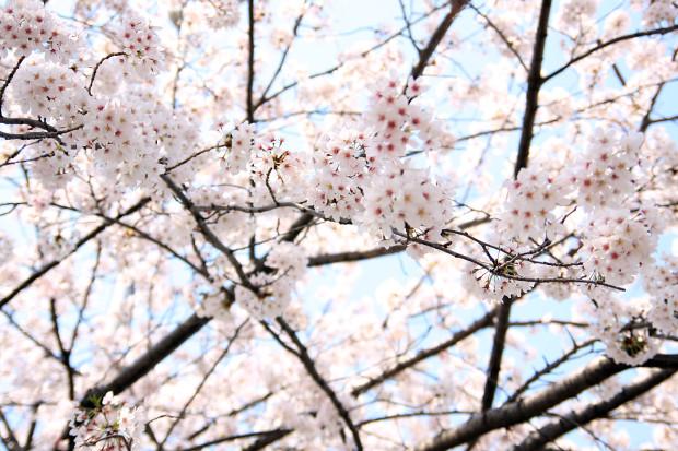 桜(さくら、目黒川花見)194