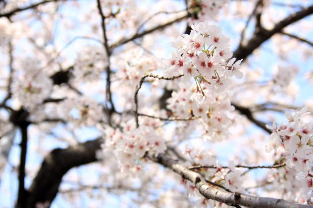 桜(さくら、目黒川花見)195