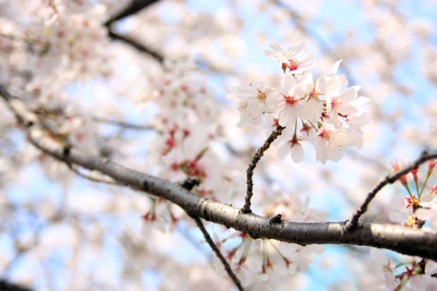 桜(さくら、目黒川花見)196