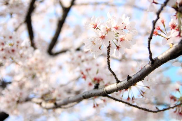 桜(さくら、目黒川花見)197