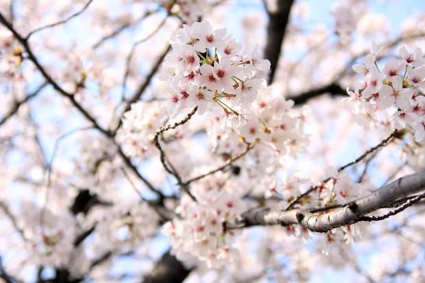 桜(さくら、目黒川花見)198