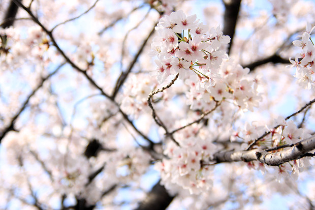 桜(さくら、目黒川花見)199