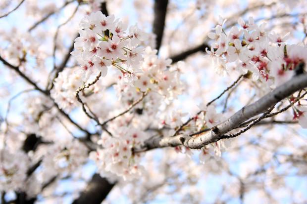 桜(さくら、目黒川花見)200