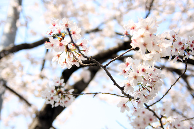 桜(さくら、目黒川花見)201