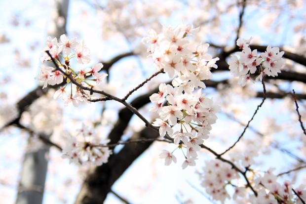 桜(さくら、目黒川花見)202