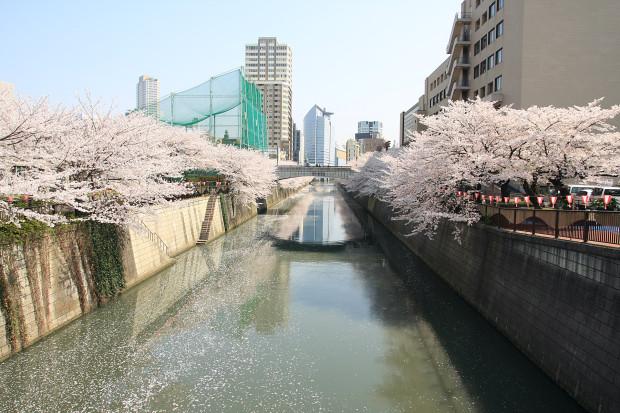 桜(さくら、目黒川花見)203