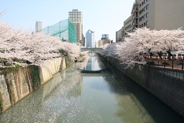 桜(さくら、目黒川花見)204