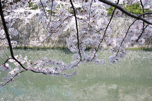 桜(さくら、目黒川花見)205