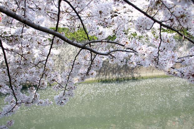 桜(さくら、目黒川花見)206