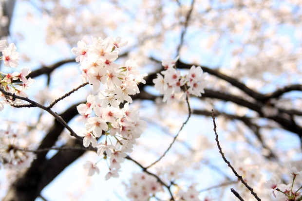 桜(さくら、目黒川花見)207