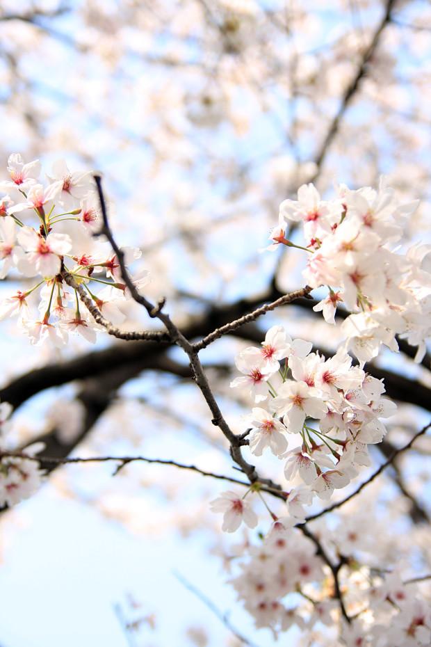 桜(さくら、目黒川花見)208