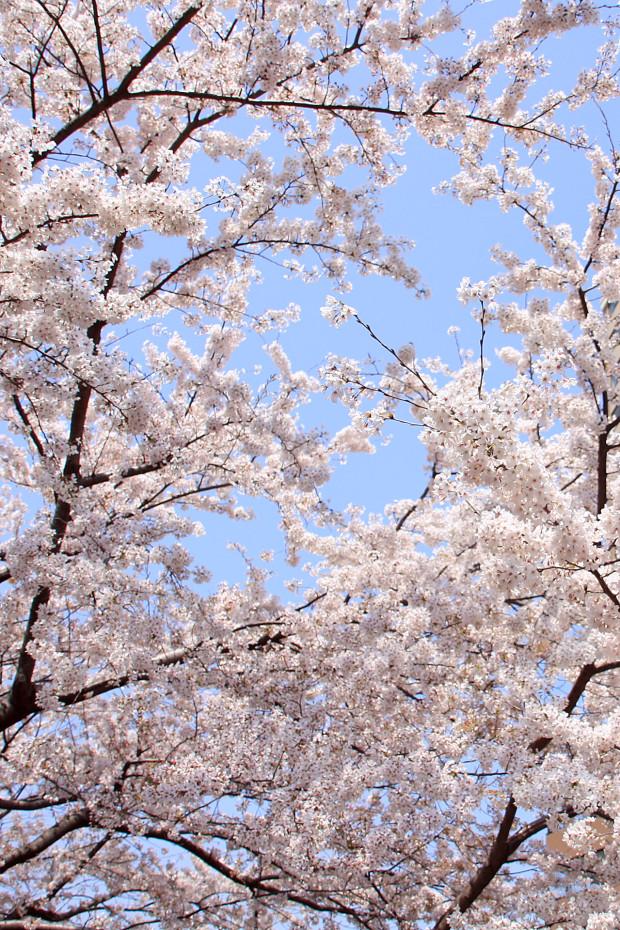 桜(さくら、目黒川花見)209