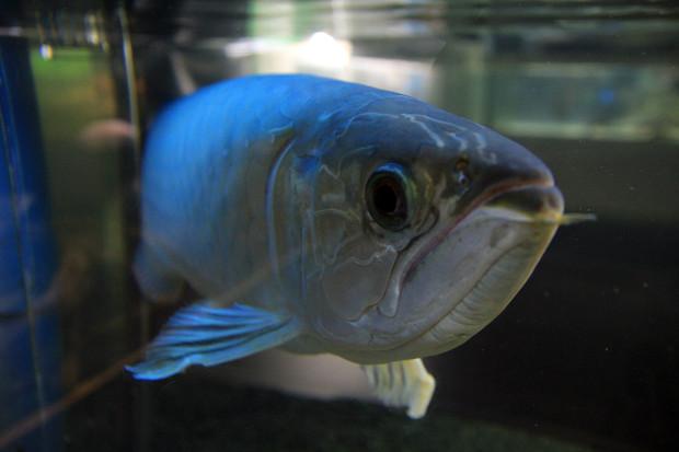 魚083(グリーンアロワナ)