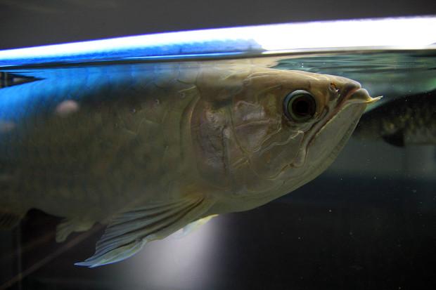 魚084(グリーンアロワナ)
