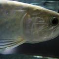魚(グリーンアロワナ)サムネイル