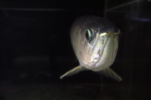 魚086(グリーンアロワナ)