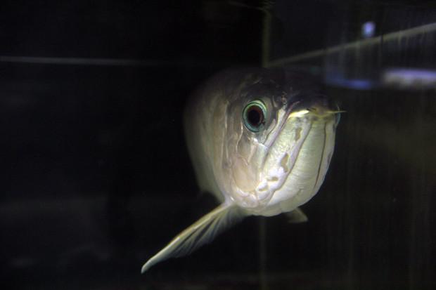 魚088(グリーンアロワナ)