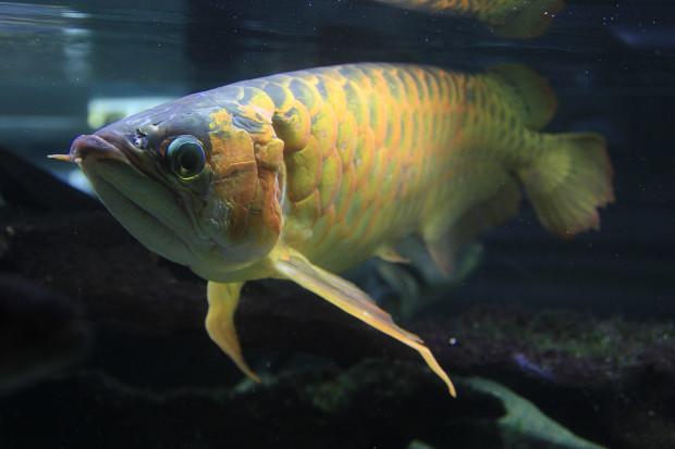 魚089(スーパーレッドアロワナ)
