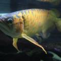 魚(スーパーレッドアロワナ)サムネイル