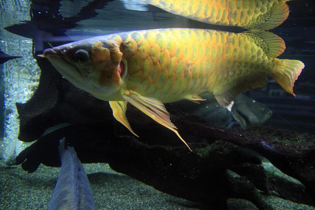 魚091(スーパーレッドアロワナ)