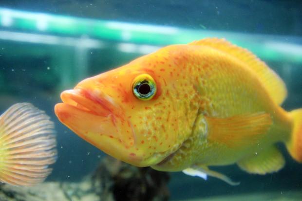 魚(スプレンディダ)093