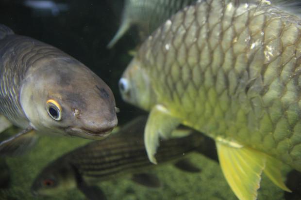 魚(タイガーバルブ)094