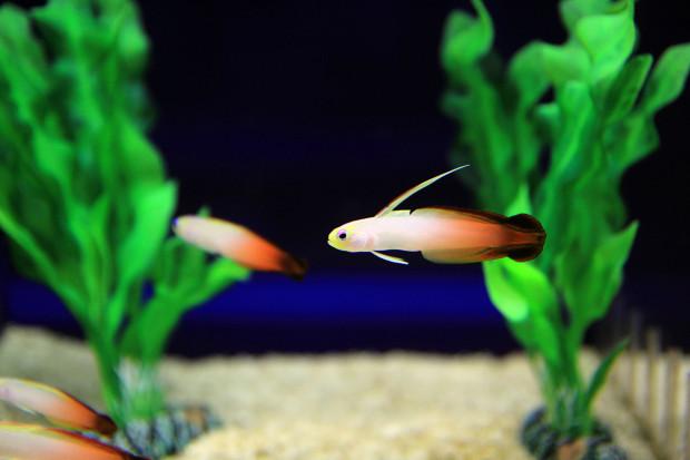 魚(ハタタテハゼ)095