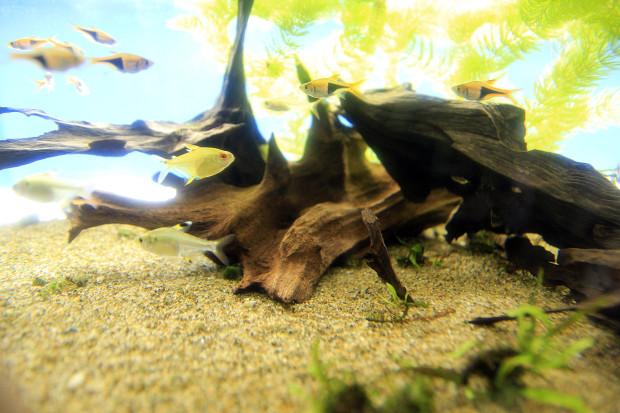 魚(ヘテロモルファ)096