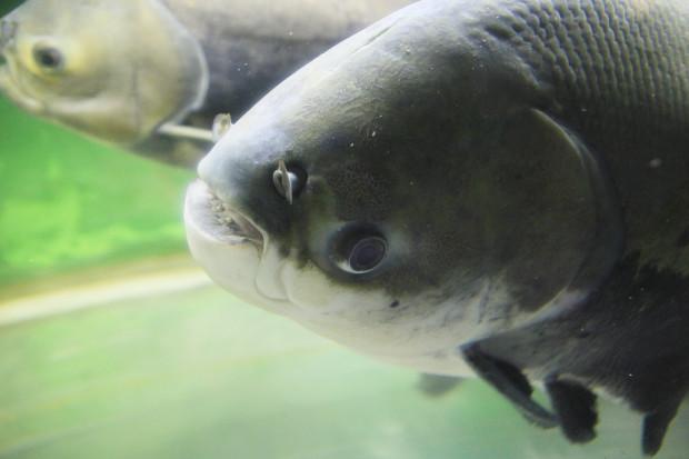 魚(ブラックコロソマ)108