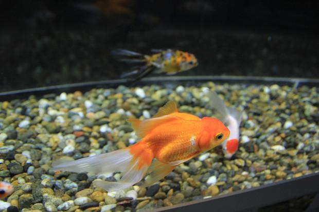 金魚(キンギョ)013