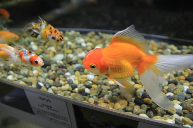 金魚(キンギョ)014
