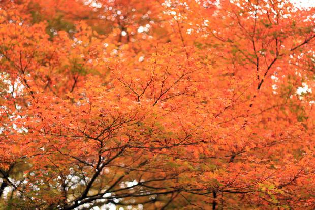 紅葉(こうよう・もみじ)130