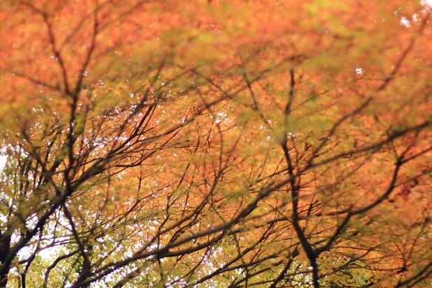 紅葉(こうよう・もみじ)131