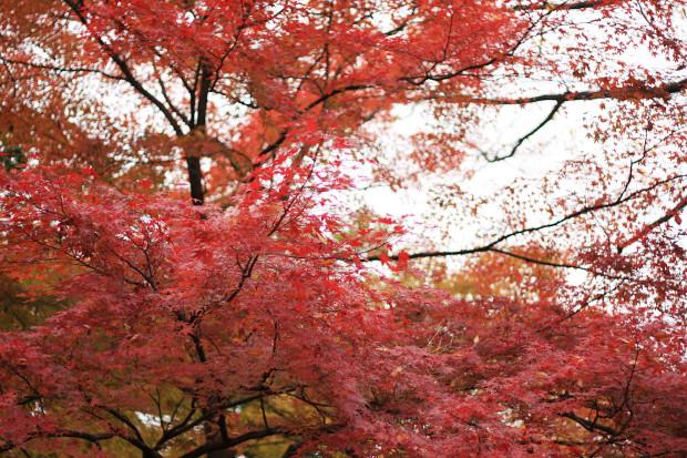 紅葉(こうよう・もみじ)135