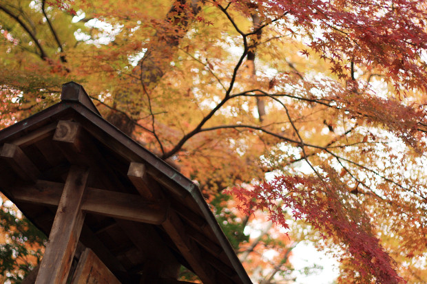 紅葉(こうよう・もみじ)136