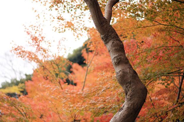紅葉(こうよう・もみじ)155
