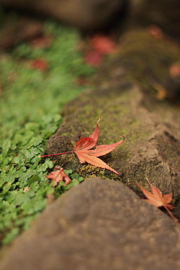 紅葉(こうよう・もみじ)159