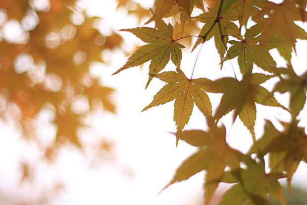 紅葉(こうよう・もみじ)188
