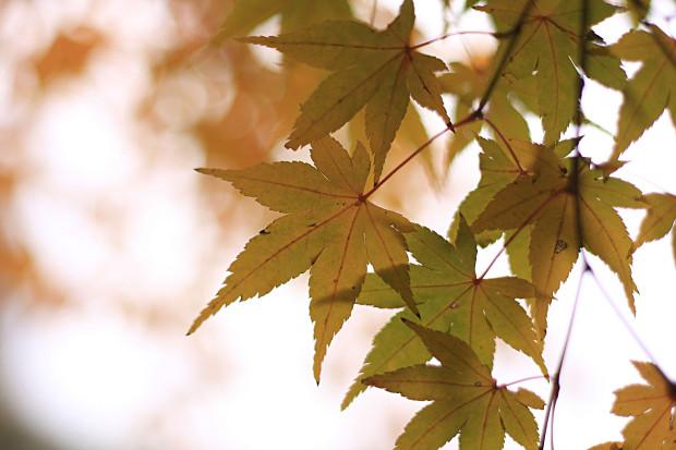 紅葉(こうよう・もみじ)189