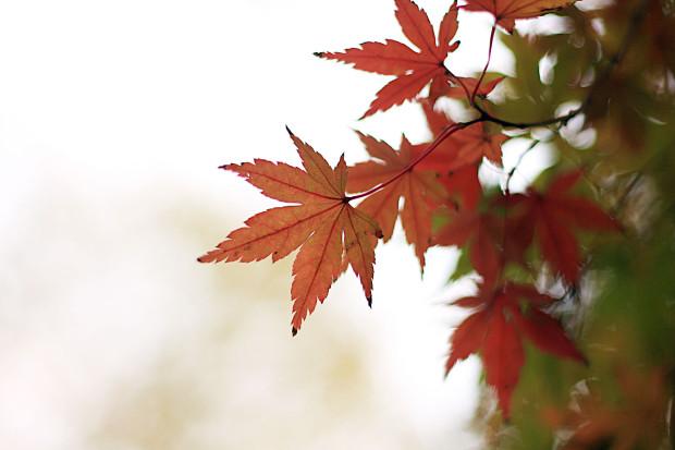 紅葉(こうよう・もみじ)192