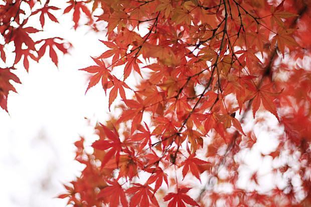 紅葉(こうよう・もみじ)193