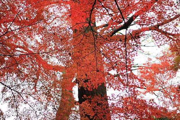 紅葉(こうよう・もみじ)198
