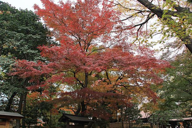 紅葉(こうよう・もみじ)204