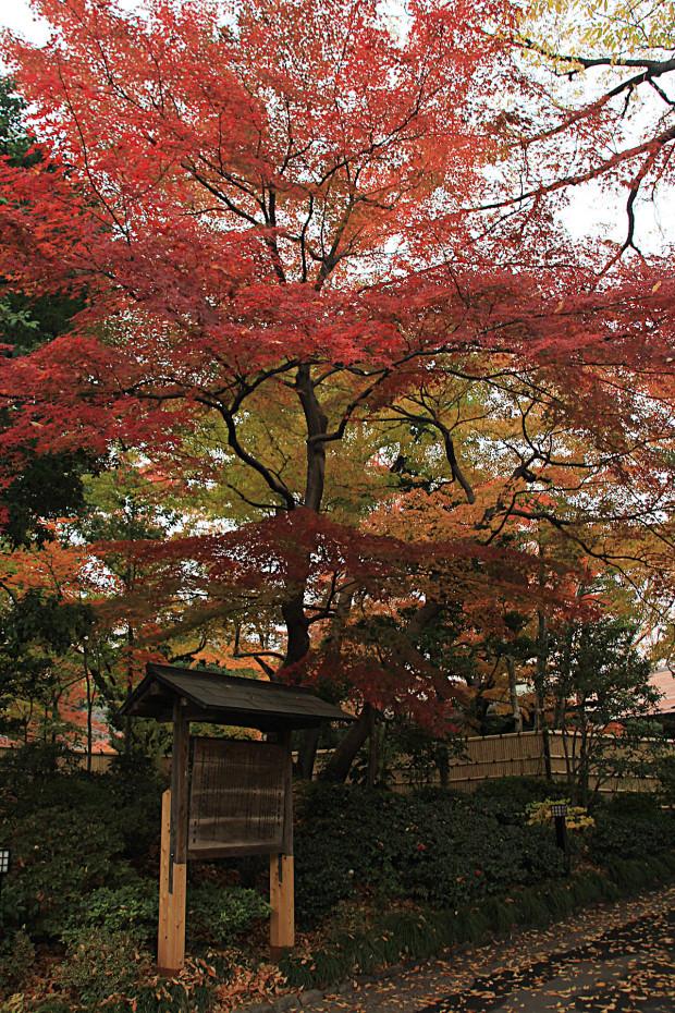 紅葉(こうよう・もみじ)205